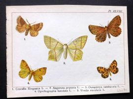 Joanny Martin 1902 Antique Butterfly Print 48